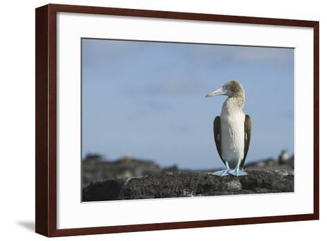 Blue-Footed Booby-DLILLC-Framed Art Print
