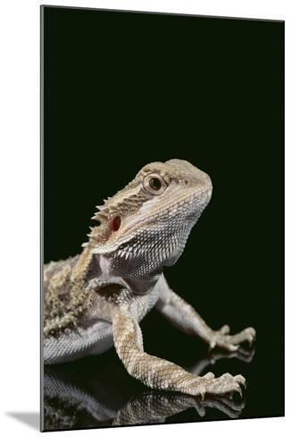 Bearded Dragon-DLILLC-Mounted Photographic Print