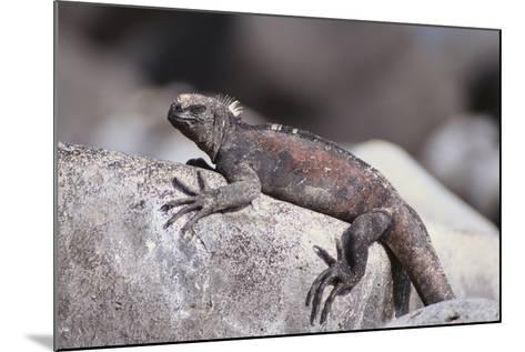 Marine Iguana-DLILLC-Mounted Photographic Print