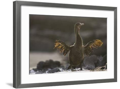 Flightless Cormorant-DLILLC-Framed Art Print
