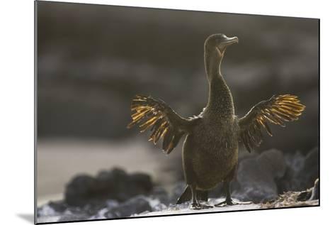 Flightless Cormorant-DLILLC-Mounted Photographic Print