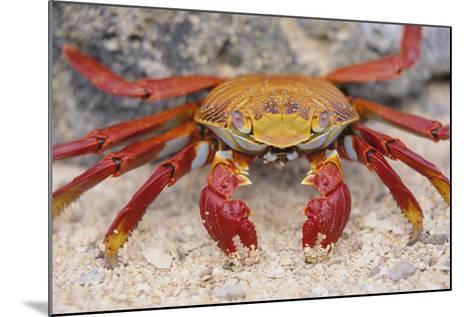 Sally Lightfoot Crab-DLILLC-Mounted Photographic Print