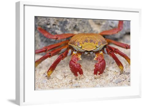 Sally Lightfoot Crab-DLILLC-Framed Art Print
