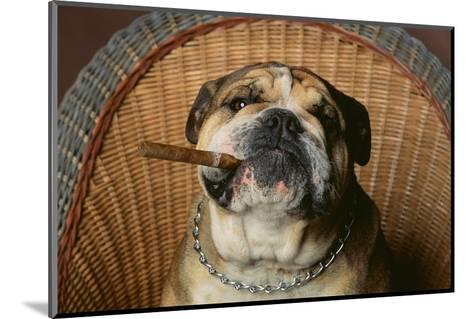 Bulldog Enjoying a Cigar-DLILLC-Mounted Photographic Print