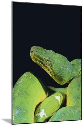 Emerald Tree Boa-DLILLC-Mounted Photographic Print