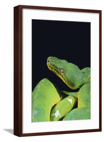Emerald Tree Boa-DLILLC-Framed Art Print