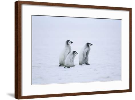 Young Emperor Penguins-DLILLC-Framed Art Print