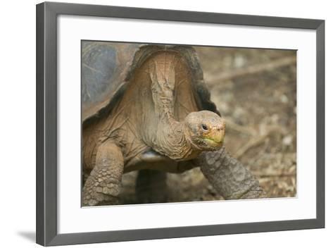 Saddleback Galapagos Tortoise-DLILLC-Framed Art Print