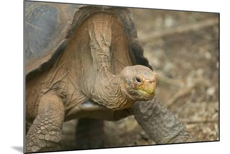 Saddleback Galapagos Tortoise-DLILLC-Mounted Photographic Print