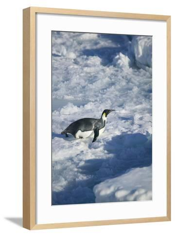 Emperor Penguin on His Belly-DLILLC-Framed Art Print