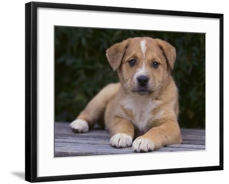 Queensland Heeler Puppy-DLILLC-Framed Art Print