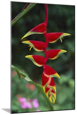 Hanging Heliconia-DLILLC-Mounted Photographic Print