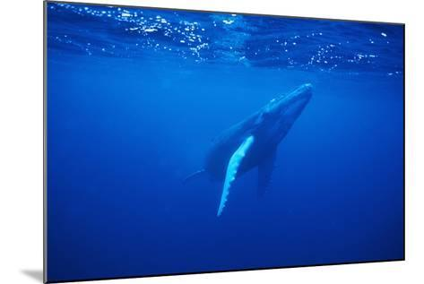 Humpback Whale-DLILLC-Mounted Photographic Print