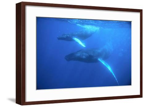 Humpback Whales-DLILLC-Framed Art Print