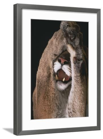 Mountain Lion with Paws over Eyes-DLILLC-Framed Art Print