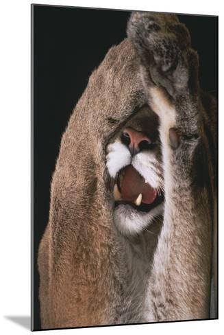 Mountain Lion with Paws over Eyes-DLILLC-Mounted Photographic Print