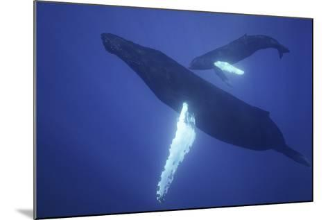 Humpback Whale Mother and Calf-DLILLC-Mounted Photographic Print