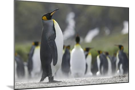 King Penguin Looking Up-DLILLC-Mounted Photographic Print
