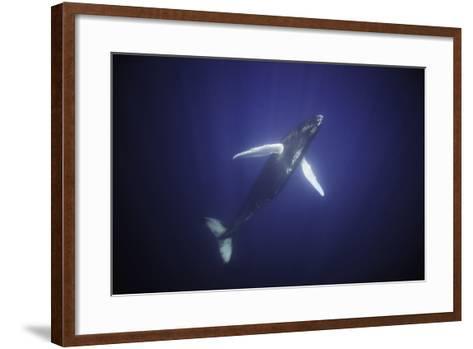 Humpback Calf-DLILLC-Framed Art Print