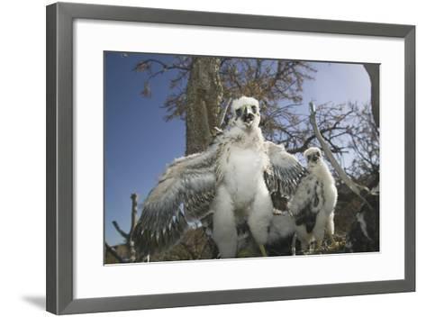 Cooper's Hawk-DLILLC-Framed Art Print