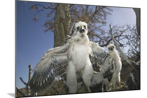 Cooper's Hawk-DLILLC-Mounted Photographic Print