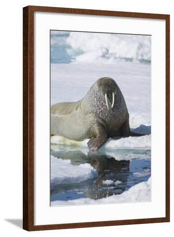 Walrus Testing the Water with a Flipper-DLILLC-Framed Art Print