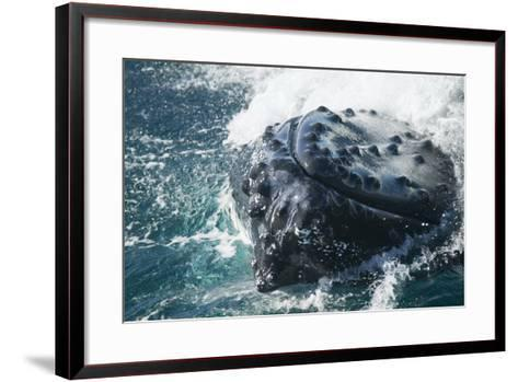 Barnacle Covered Mouth of Humpback Whale-DLILLC-Framed Art Print