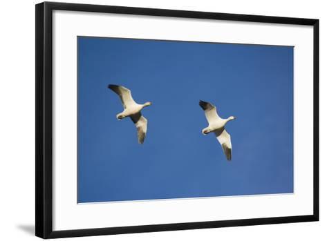 Snow Geese in Flight-DLILLC-Framed Art Print