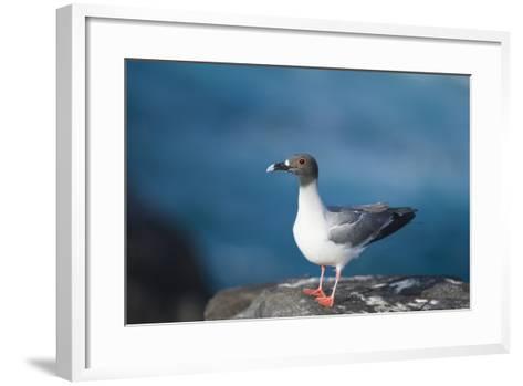 Swallow-Tailed Gull-DLILLC-Framed Art Print
