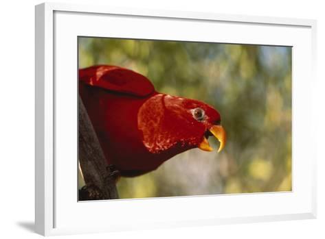 Swainson's Lorikeet-DLILLC-Framed Art Print