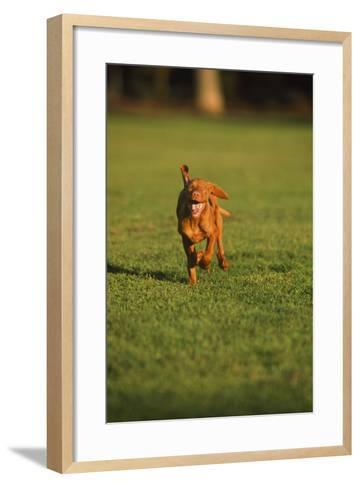 Running Viszla Puppy-DLILLC-Framed Art Print