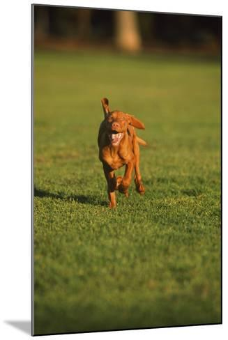 Running Viszla Puppy-DLILLC-Mounted Photographic Print