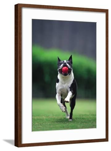 Boston Terrier Running with Ball-DLILLC-Framed Art Print