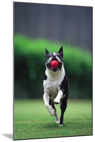 Boston Terrier Running with Ball-DLILLC-Mounted Photographic Print