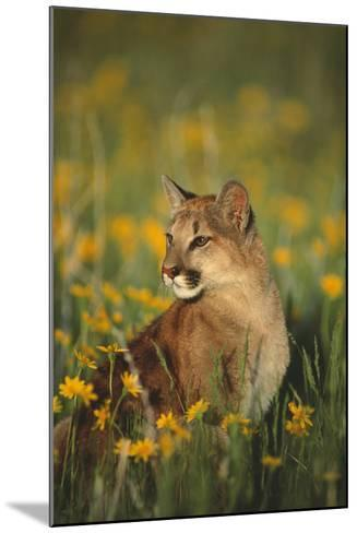 Mountain Lion Sitting in Wildflowers-DLILLC-Mounted Photographic Print