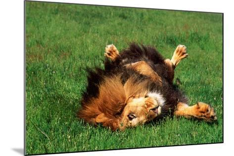 Male Lion Rolling in Grass-DLILLC-Mounted Photographic Print