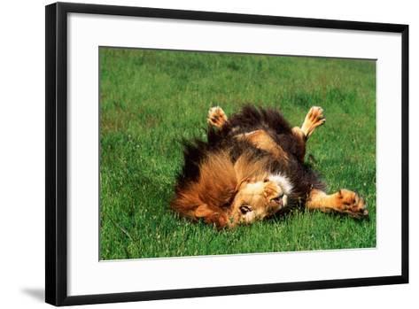 Male Lion Rolling in Grass-DLILLC-Framed Art Print