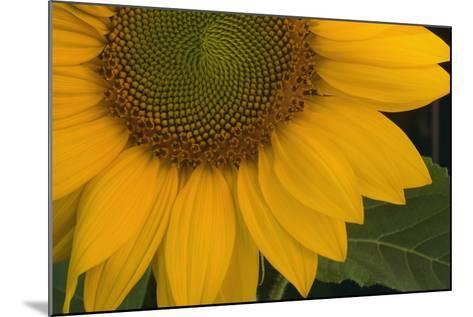 Sunflower-DLILLC-Mounted Photographic Print