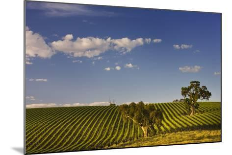 Eucalyptus Trees amongst Grapevines in the Barossa Valley-Jon Hicks-Mounted Photographic Print