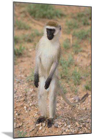 Vervet Monkey-DLILLC-Mounted Photographic Print