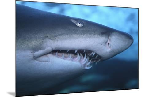 Ragged Tooth Shark-DLILLC-Mounted Photographic Print
