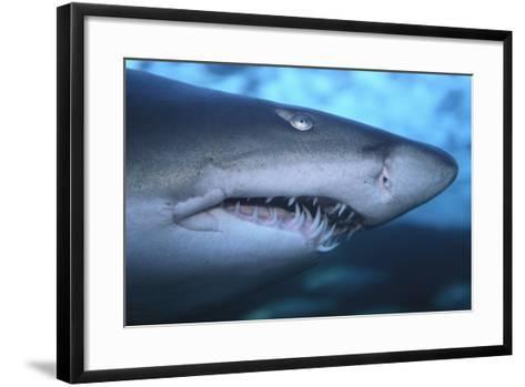 Ragged Tooth Shark-DLILLC-Framed Art Print