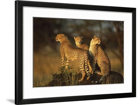 Three Cheetahs on Termite Mound-DLILLC-Framed Art Print