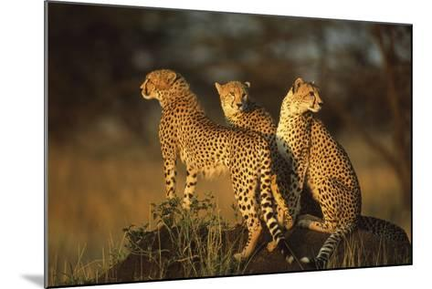 Three Cheetahs on Termite Mound-DLILLC-Mounted Photographic Print