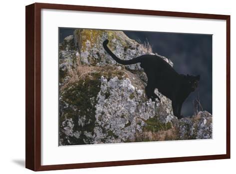 Black Panther on Boulder-DLILLC-Framed Art Print