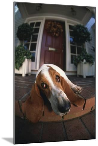 Basset Hound Lying on Porch-DLILLC-Mounted Photographic Print