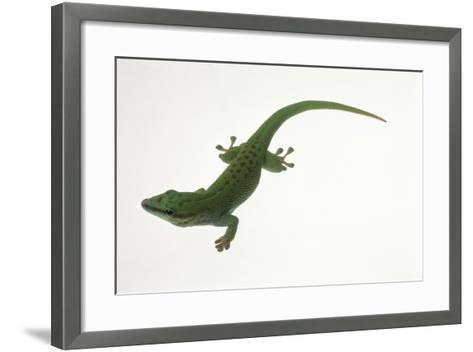 Day Gecko-DLILLC-Framed Art Print