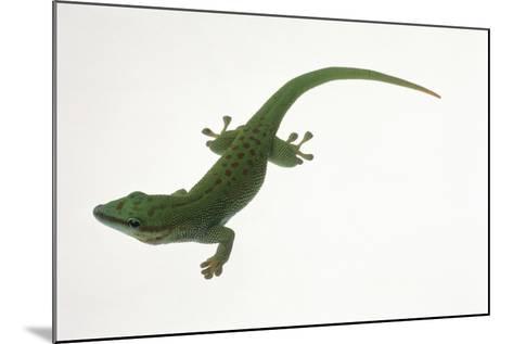 Day Gecko-DLILLC-Mounted Photographic Print