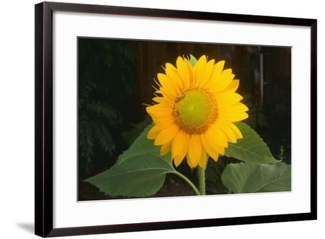 Sunflower-DLILLC-Framed Art Print