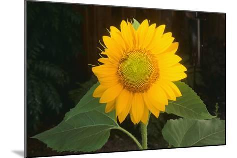 Sunflower-DLILLC-Mounted Photographic Print